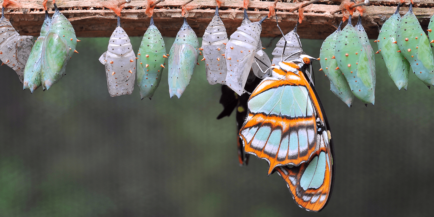 Image of one butterfly and a row of green and purple chrysalises suspended from a branch, illustrating the process of changing from a PLC to a private limited company.